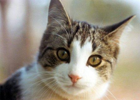 Felis domesticus (Ev Kedisi)