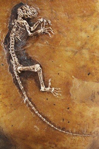 Darwinius masillae (Ida)