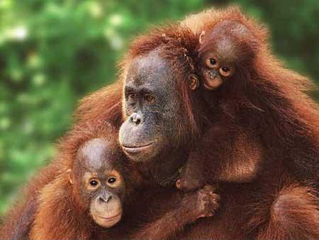 Orangutan Ailesi