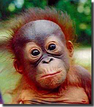 Orangutan (Yavru)
