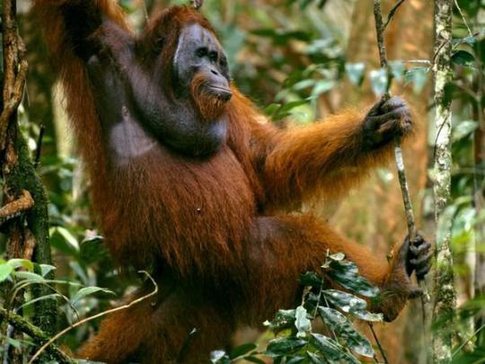 Orangutan (Yetişkin Erkek)