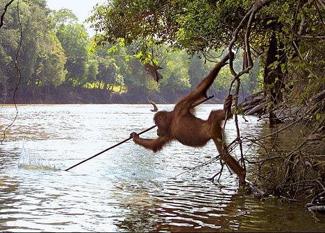 Orangutan, Alet Kullanımı ve Avlanma