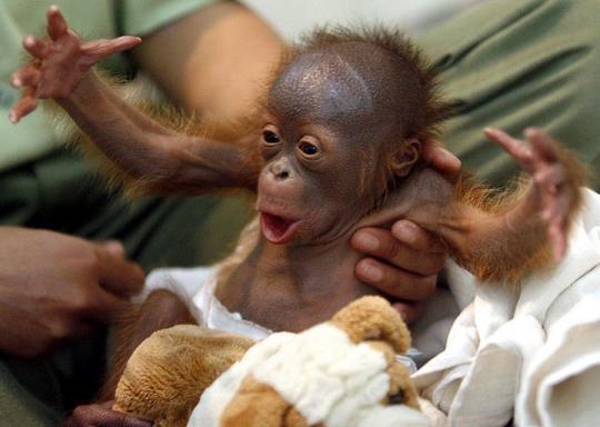 Orangutan (Yeni Doğan)