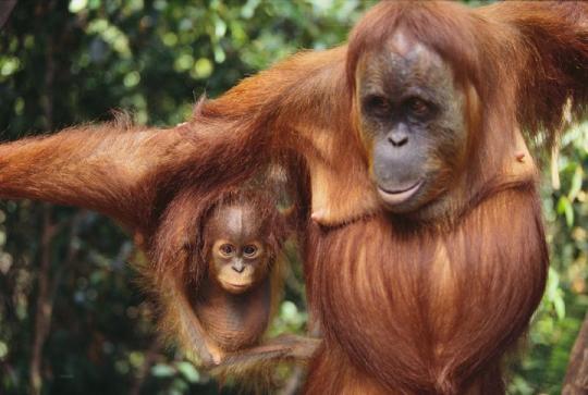 Dişi Orangutan ve Yavrusu