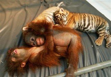Orangutanlarda Şefkat