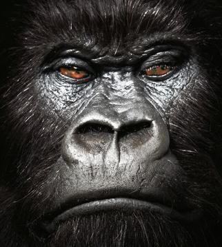 Goril (Erkek)