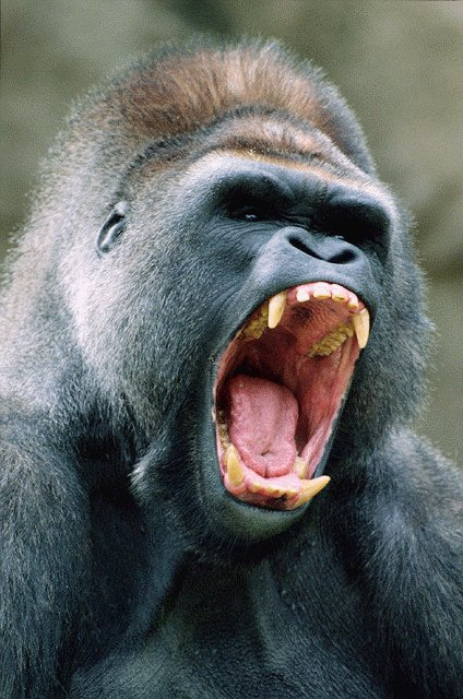 Goril (Tehdit Çığlığı)