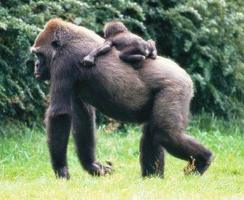 Anne Goril ve Yavrusu