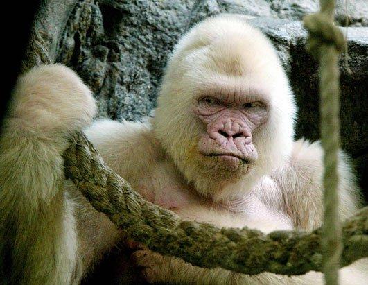 Albino Goril (Dünya'da bir defa görülmüş)