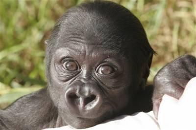 Goril (Yeni Doğan)