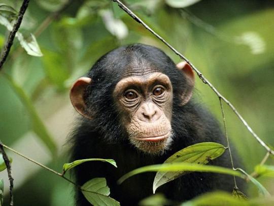 Şempanze (Genç)