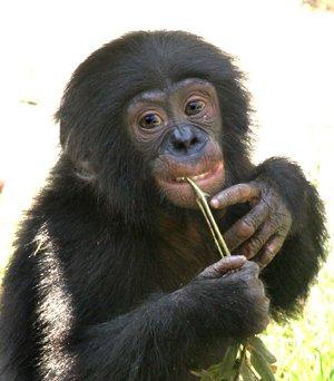 Bonobo (Genç)