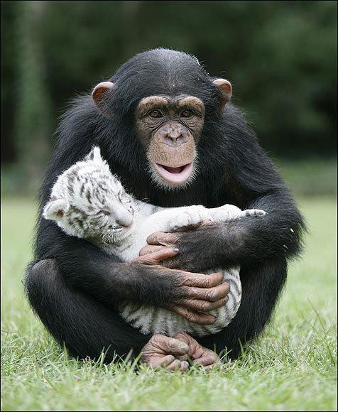 Şempanzelerde Şefkat