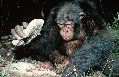 Şempanze (Alet Yapımı)