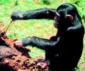 Şempanze (Alet Kullanımı)