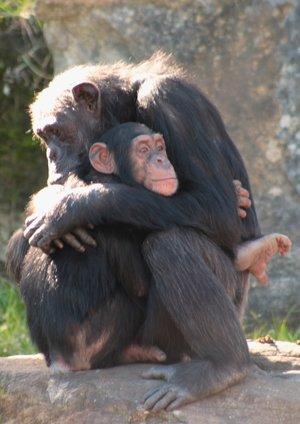 Şempanzelerde Sarılma
