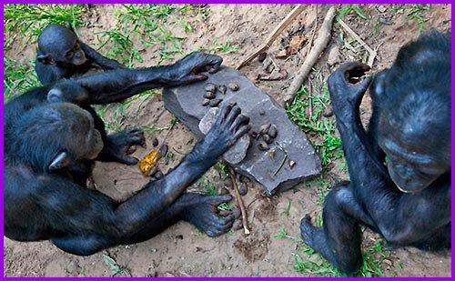 Şempanzeler öğrendiklerini diğerlerine öğretebilirler.