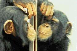 Şempanze (Ayna)