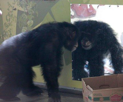 Burrito isimli şempanze aynada kendisine bakıyor.