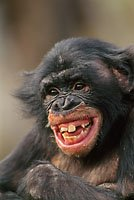Bonobo gülüşü bizimkine daha da yakındır. Bonobo laughing, Pan paniscus, D.R. Congo Copyright Frans Lanting / Frans Lanting Stock