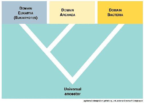Bakteriler, Arkeler ve Ökarya Arasındaki Bağ ve Ortak Ata