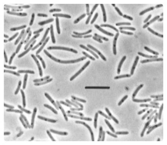Heliobacteria