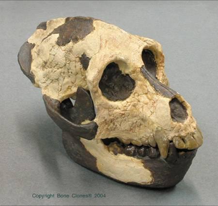 Aegyptopithecus (Fosil)