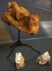 Kenyapithecus (Fosil)