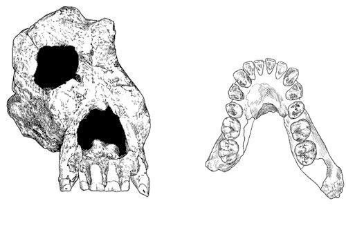 Ouranopithecus (Fosil Çizim)