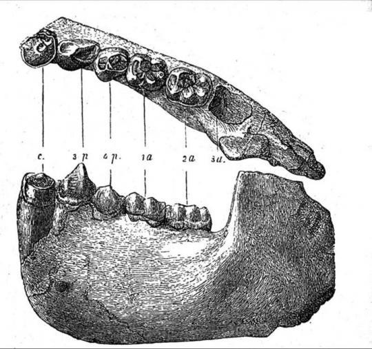 Dryopithecus (Fosil)