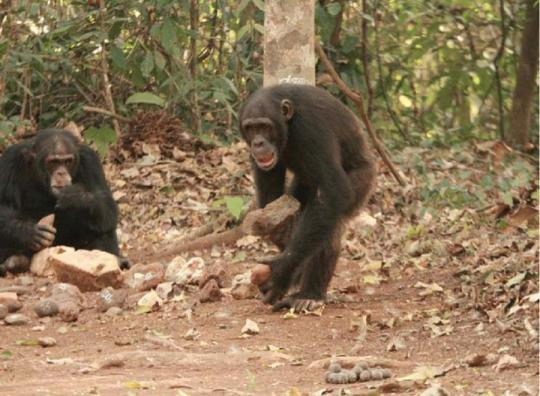 Şempanzelerde Alet Kullanımı