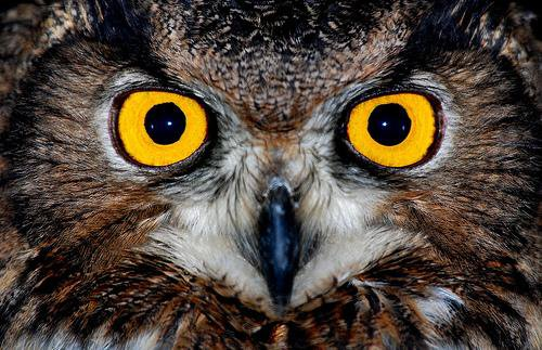 Göz (Baykuş)