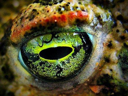 Göz (Kurbağa)