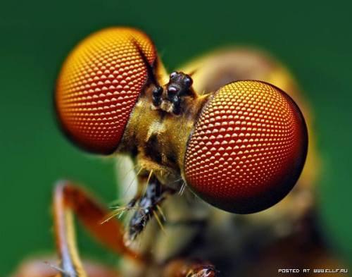 Göz (Kız Böceği)