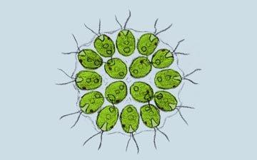Hücreler Arası İşbirliği ve Kolonileşme (Gonium pectorale)