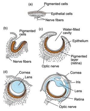 Göz'ün Evrimi (Çukurlaşmaya devam eden göz, b ve c ile isimlendirilmiştir)