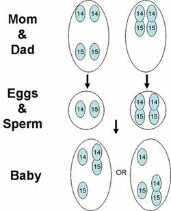 İki Kromozom Açısından Da Mutant Olan Bireyin, Normal (Ata) Birey İle Çiftleşmesi