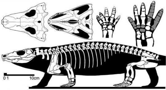 Tseajaia (Fosillerden Edinilen İskelet Yapısı)