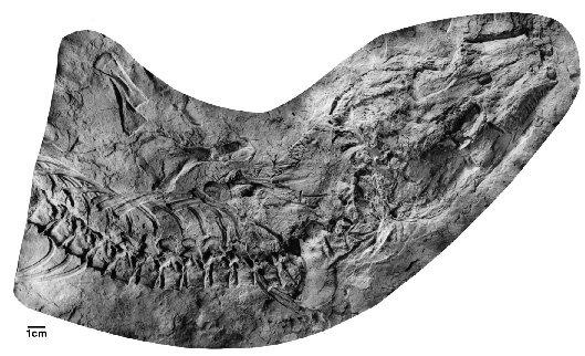 Solenodonsaurus (Fosil - 2)