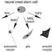 Endüksiyon: Görselde de görüldüğü gibi, tek bir hücre, farklı kimyasalların ortamda bulunması sonucu, farklı yapıları oluşturmak üzere farklılaşabilir.