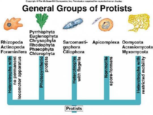 Genel Protista Grupları