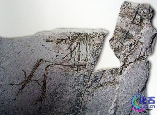 Sinornis (Fosil)