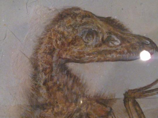 Sinonithosaurus (Fosil)
