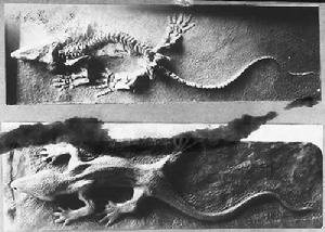 Limnoscelis (Fosil)