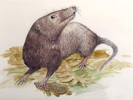 Adelobasileus cromptoni