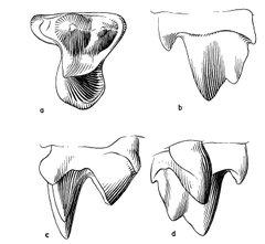 Gypsonictops