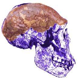 Java Adamı (Pithecanthropus erectus)