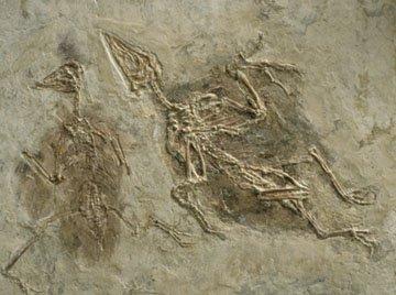 Archaeoraptor (Archaeoraptor liaoningensis)