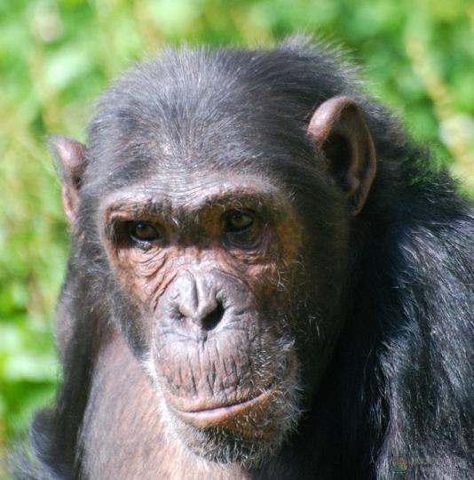 Şempanze (Pan troglodytes)