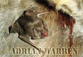 Vampir Yarasa (Eşekten beslenirken)